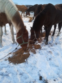 Horses, Feasting as they prepare for the Dakota 38+2 memorial ride